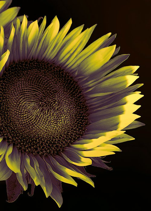 Sunflower Greeting Card featuring the photograph Sunflower Dawn by William Dey