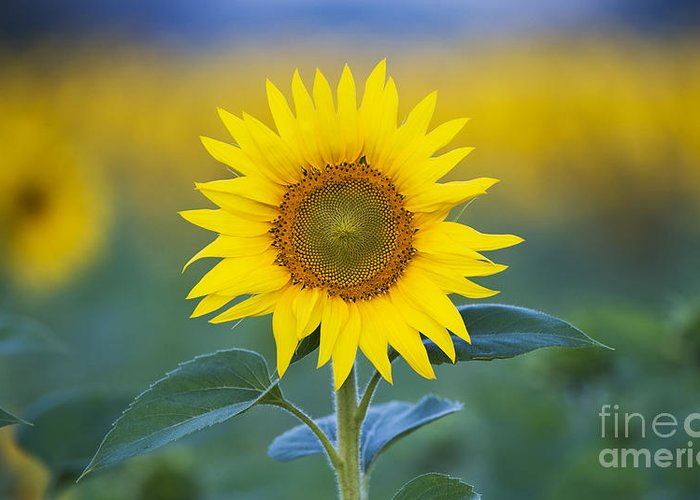Morning Sunflowers Greeting Cards