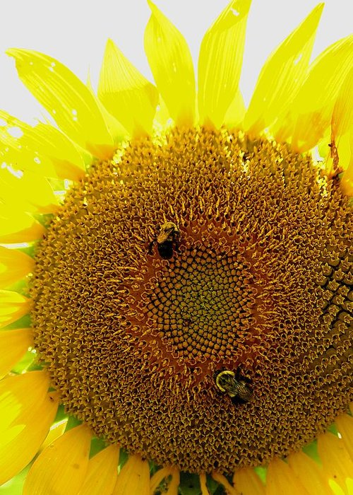 Sunflower Greeting Card featuring the photograph Sunflower With Bees by Bob Guthridge