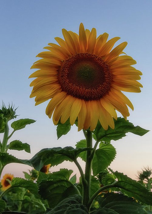 Sunflowers Greeting Card featuring the photograph Sunflowers 4 by Heather Kenward