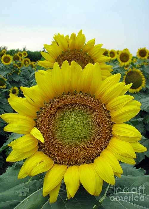 Sunflowers Greeting Card featuring the photograph Sunflowers by Amanda Barcon