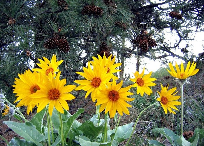 Sunflowers Greeting Card featuring the photograph Sunflowers And Pine Cones by Will Borden