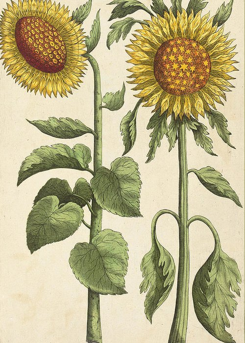 Yellow Sunflower Drawings Greeting Cards