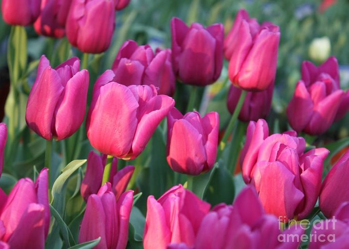 Pink Tulips Greeting Card featuring the photograph Sunlight On Pink Tulips by Carol Groenen