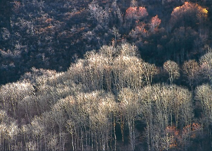 Aspens Greeting Card featuring the photograph Sunlit Bare Autumn Aspens 1 by Steve Ohlsen