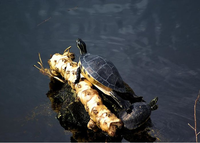 Turtles Greeting Card featuring the photograph Sunning Turtles by Lisa Clark