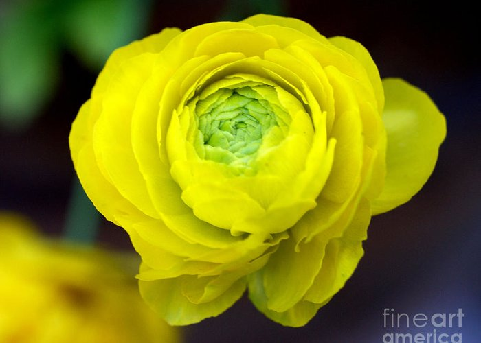 Yellow Greeting Card featuring the photograph Sunny Ranunculus by Valerie Fuqua