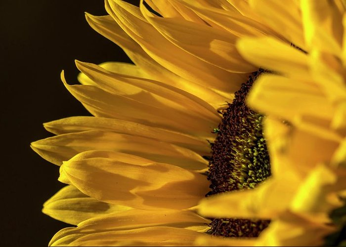 Sunflower Greeting Card featuring the photograph Sunny Too By Mike-hope by Michael Hope
