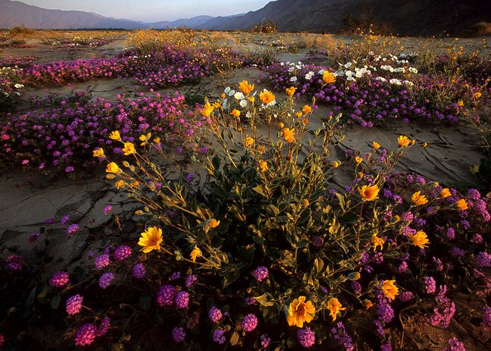 California Greeting Card featuring the photograph Sunrise On Desert Wildflowers by Tim Laman