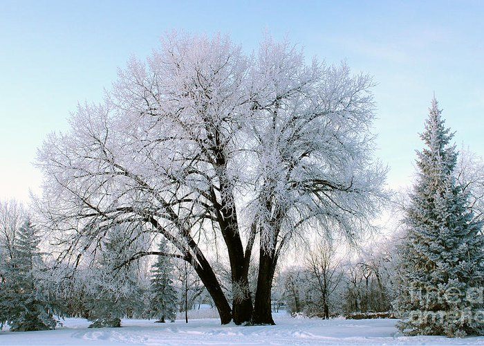 Trees Greeting Card featuring the photograph Sunset Frost by Steve Augustin