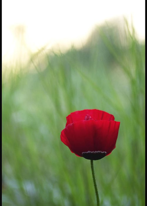 Flower Greeting Card featuring the photograph Sunset Poppy by Julia Bridget Hayes
