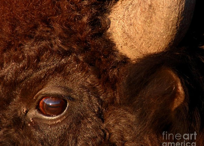 Buffalo Greeting Card featuring the photograph Sunset Reflections In The Eye Of A Buffalo by Max Allen
