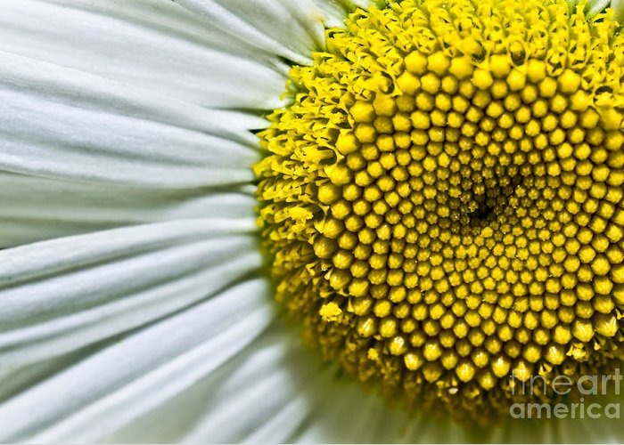 bellis Perennis Greeting Card featuring the photograph Sunshine Daisy by Ryan Kelly