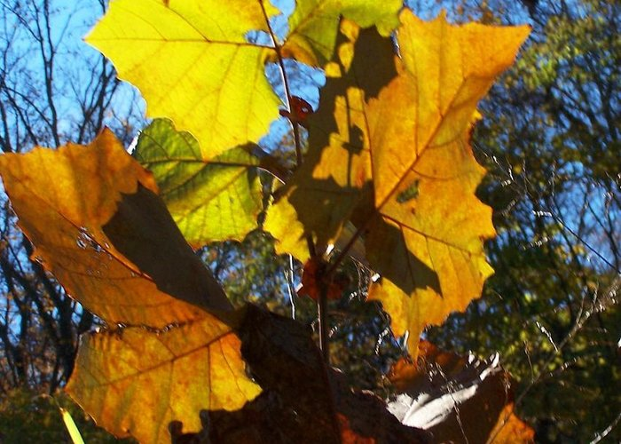 Leaves Greeting Card featuring the photograph Sunshines On Me by Vijay Sharon Govender