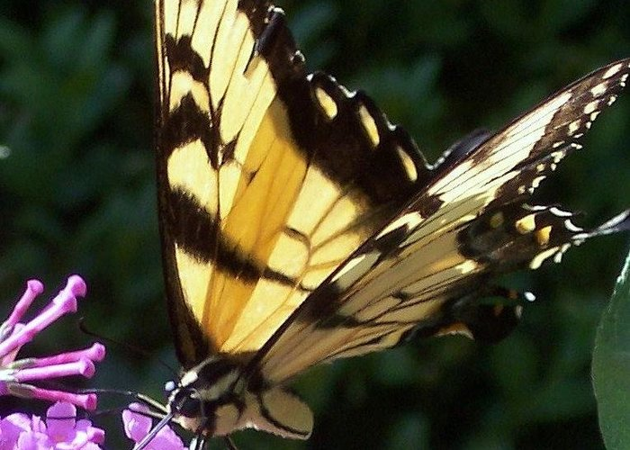 Swallowtail Butterfly Yellow Purple Flower Greeting Card featuring the photograph Swallowtail 2 by Anna Villarreal Garbis