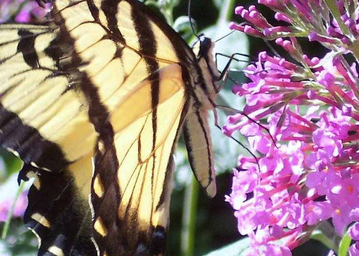 Swallowtail Butterfly Yellow Purple Flower Greeting Card featuring the photograph Swallowtail by Anna Villarreal Garbis