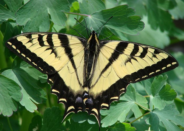 Swallowtail Greeting Card featuring the photograph Swallowtail Butterfly by Liz Vernand