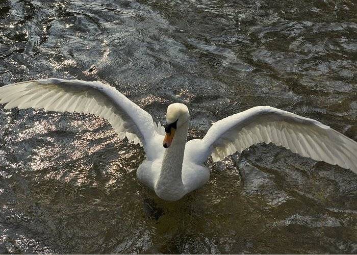 Swan Greeting Card featuring the photograph Swan Dance - 3 by Alan Pickersgill