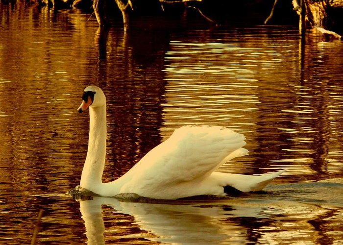 Swan Greeting Card featuring the photograph Swan Dance by Kendall Eutemey