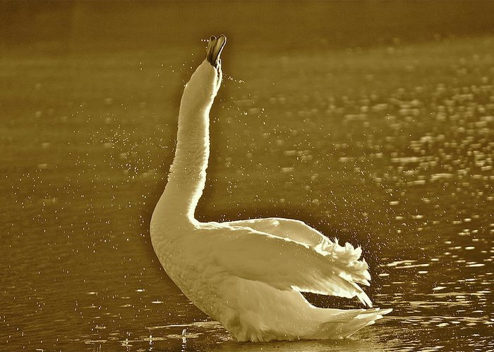 Swan Greeting Card featuring the photograph Swan Lake by Diana Hatcher