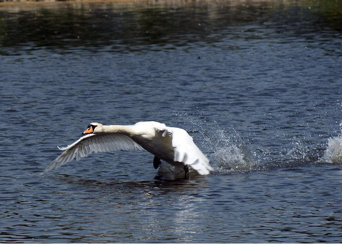 Swan Landing Greeting Card featuring the photograph Swan Landing 3 by Maria Keady