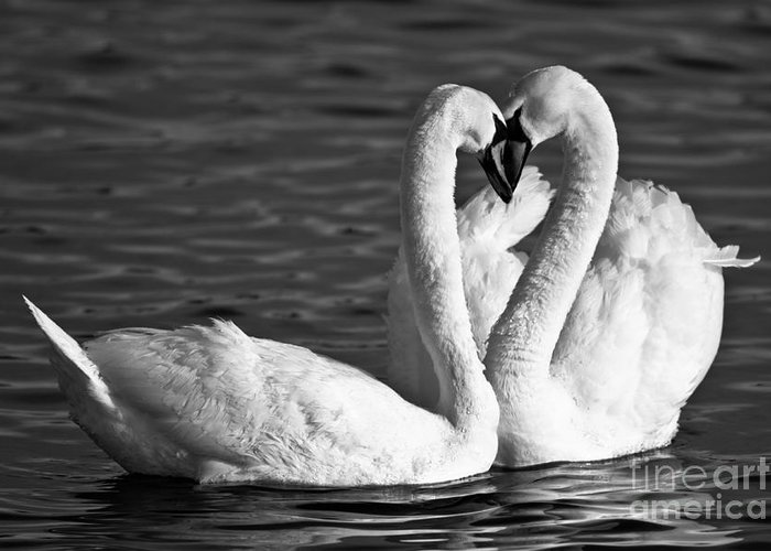 Swans Greeting Card featuring the photograph Swans by Brandon Broderick
