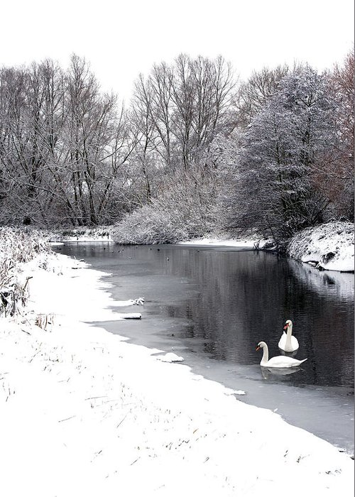 Swans Greeting Card featuring the photograph Swans In The Snow by Gary Eason