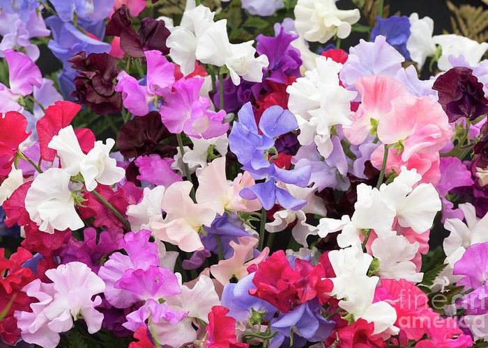 Sweet Pea Spencer Mixed Greeting Card featuring the photograph Sweet Pea Spencer Flowers by Tim Gainey
