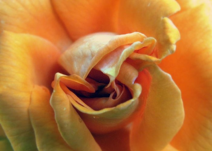 Rose Greeting Card featuring the photograph Sweet Seduction by Karen Wiles