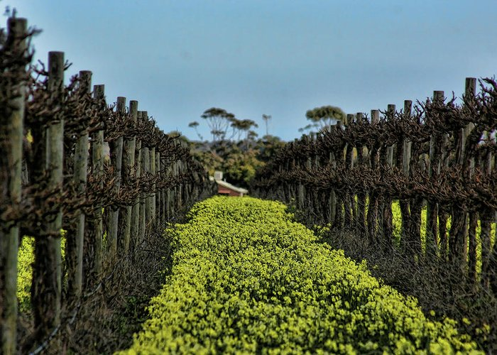 Vines Greeting Card featuring the photograph Sweet Vines by Douglas Barnard