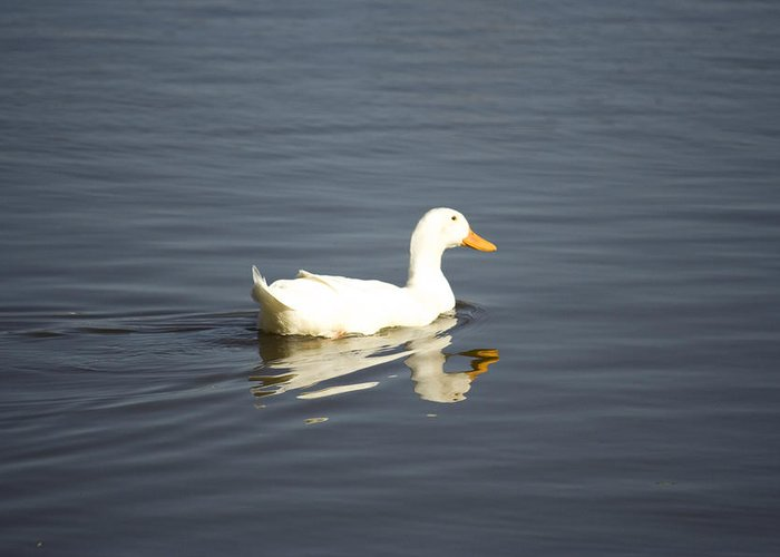 Duck Greeting Card featuring the photograph Swimming Away by Magda Levin-Gutierrez