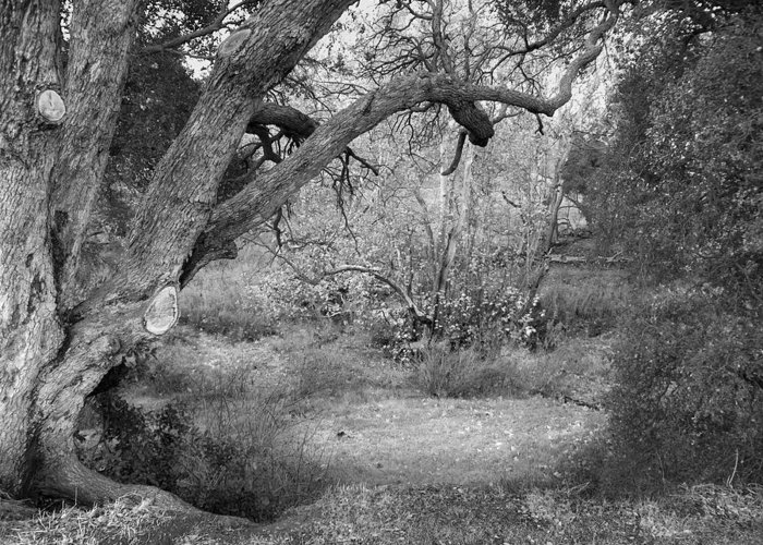 Landscape Greeting Card featuring the photograph Sycamore Grove Black And White by Karen W Meyer