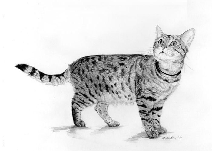 Cat Greeting Card featuring the drawing Tabby Cat Looking Up by Phyllis Tarlow