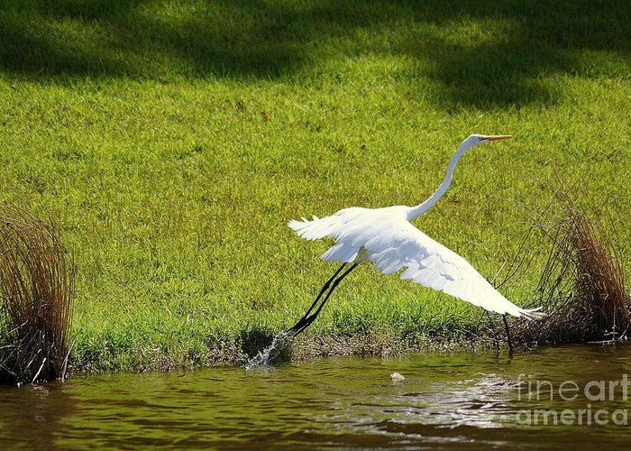 Great Egret Greeting Card featuring the photograph Take Off by Trish H