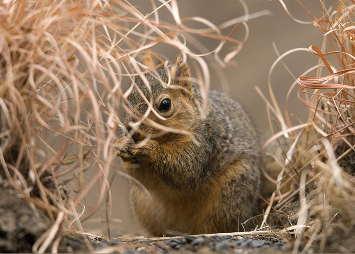 Nobody Greeting Card featuring the photograph Tall Grasses Make Up A Fox Squirrels by Joel Sartore