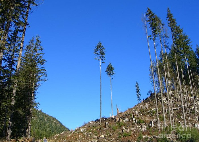 British Columbia Greeting Card featuring the photograph Tall Timbers by Jim Thomson