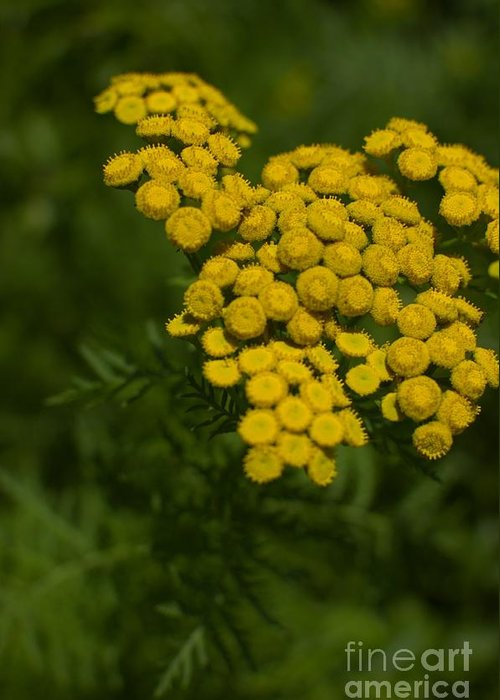 Tansy Greeting Card featuring the photograph Tansy by The Stone Age
