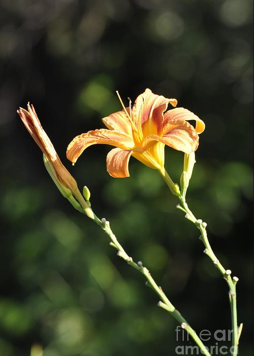 Lily Greeting Card featuring the photograph Tasmania Day Lily by Penny Neimiller