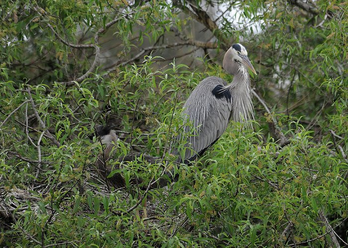 Great Blue Heron Greeting Card featuring the photograph Teaching Mother by Keith Lovejoy
