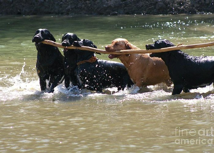Herd Of Five Working Labrador Retriever Dogs. Hunting Greeting Card featuring the photograph Teamwork 2 by Shari Morehead