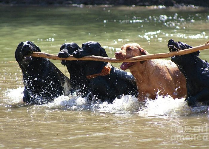 Herd Of Five Working Labrador Retriever Dogs. Hunting Greeting Card featuring the photograph Teamwork by Shari Morehead