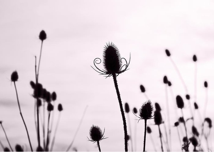 Teasel Greeting Card featuring the photograph Teasels In A French Field II by Gareth Davies