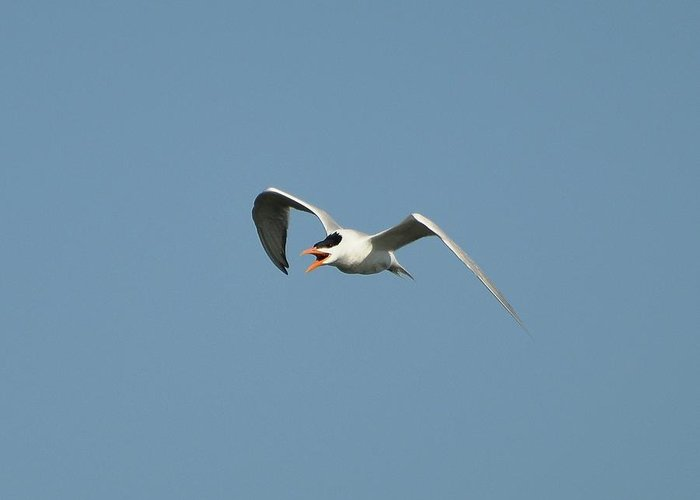 Tern Greeting Card featuring the photograph Tern Flight 02 by Al Powell Photography USA
