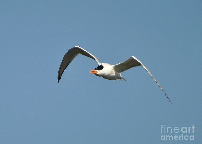 Tern Greeting Card featuring the photograph Tern Flight by Al Powell Photography USA