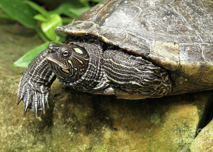 Turtle Greeting Card featuring the photograph Tess The Map Turtle #2 by Judy Whitton