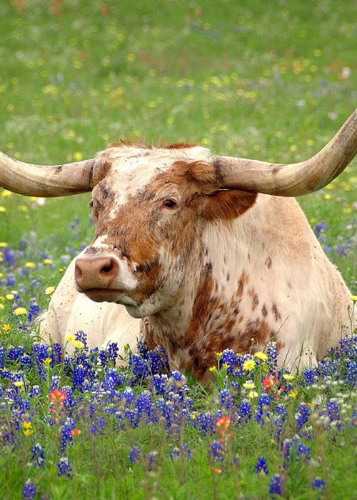 Texas Longhorn In Bluebonnets Greeting Card featuring the photograph Texas Longhorn In Bluebonnets by Jon Holiday
