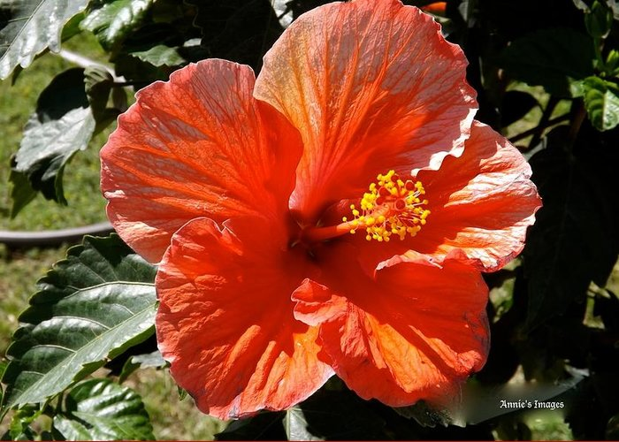 Nature Hibiscus Greeting Card featuring the photograph Texas Spring by Annie's Images