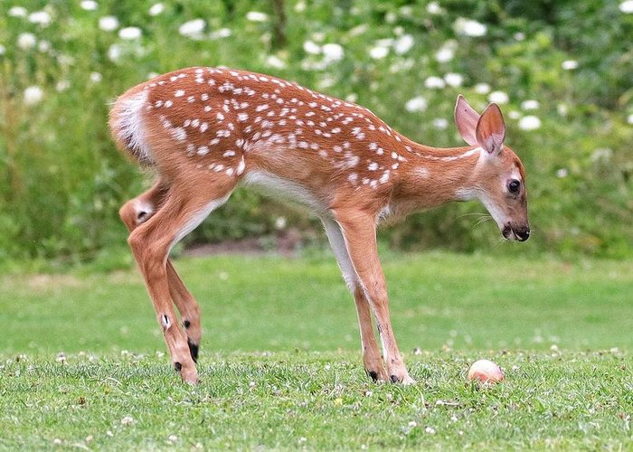 #theberkshires #babydeer #deer #deeringrass #doe #massachusetts #fawn Greeting Card featuring the photograph That's An Apple by Debbie Storie