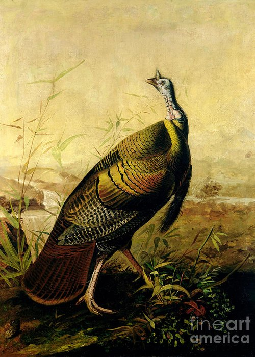 Wild Turkey Greeting Cards