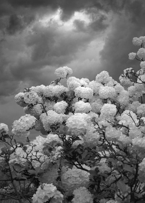 Black And White Floral Of Hydrangeas Greeting Card featuring the digital art The Approaching Storm by Priscilla Rink